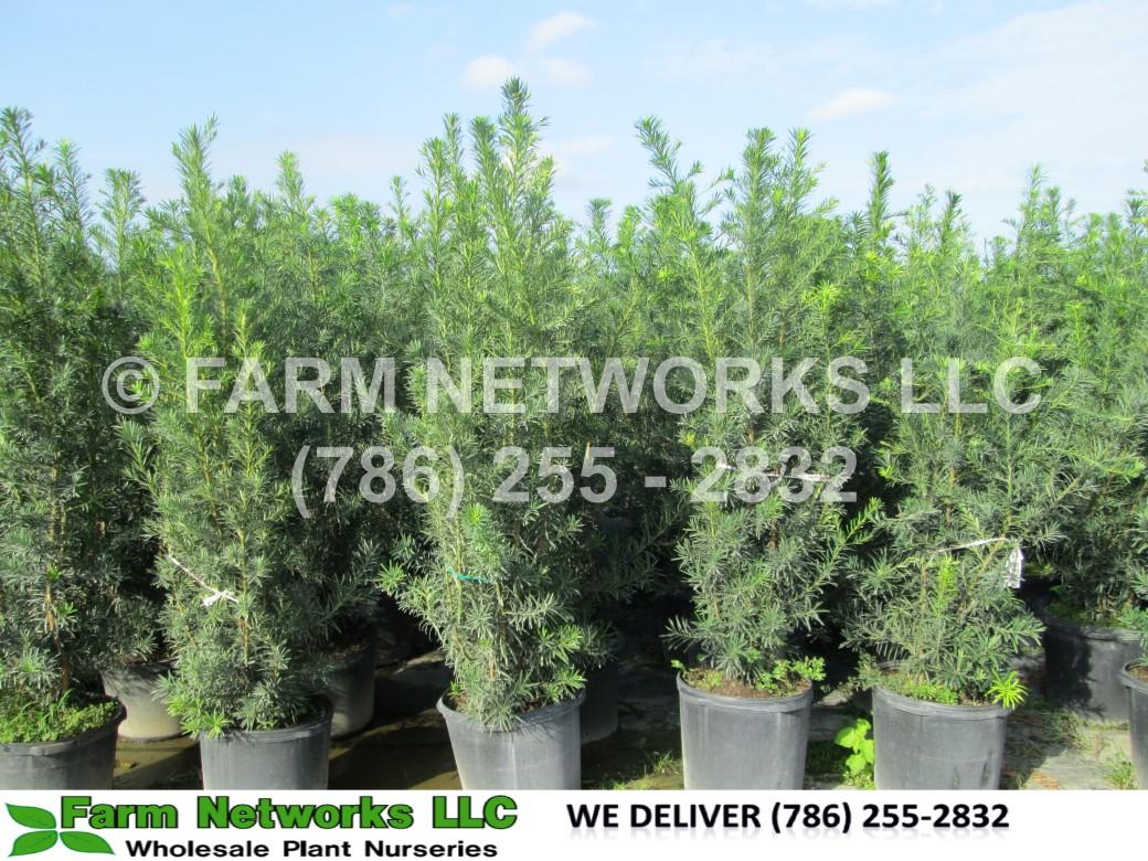 15-Gallon-Podocarpus-Nursery