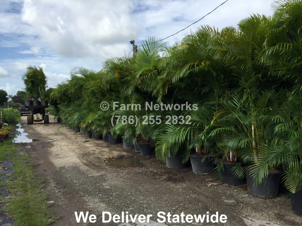 25-Gallon-Areca-Nursery