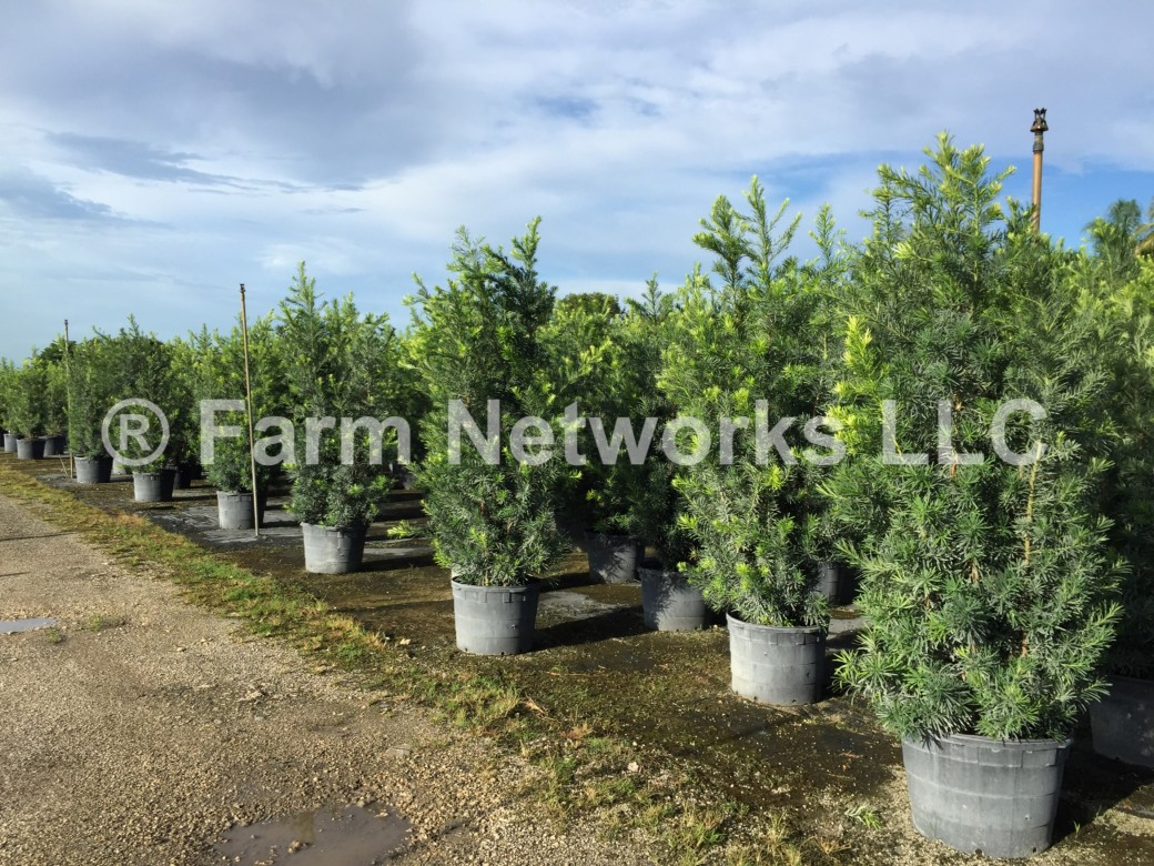 25-Gallon-Podocarpus-Nursery