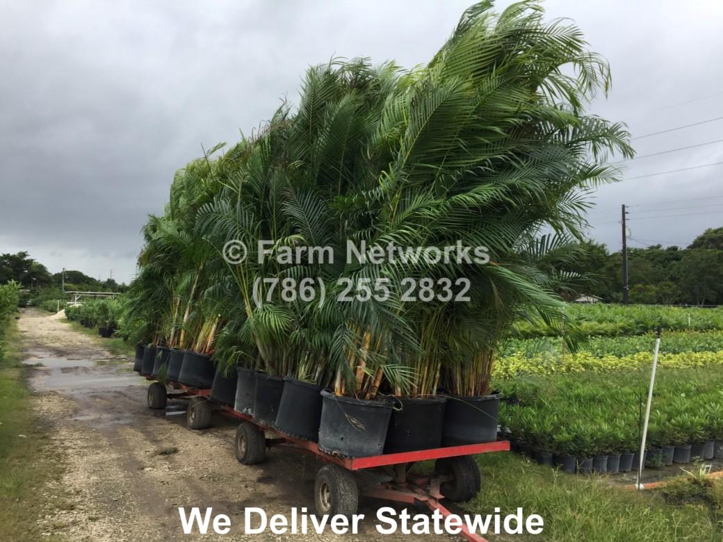30-Gallon-Areca-Nursery