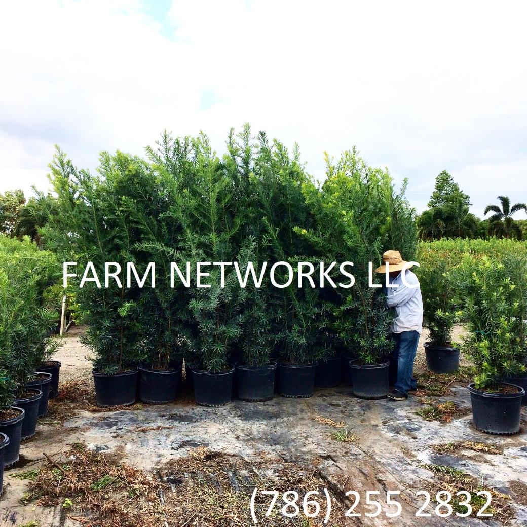 30-Gallon-Podocarpus-Nursery