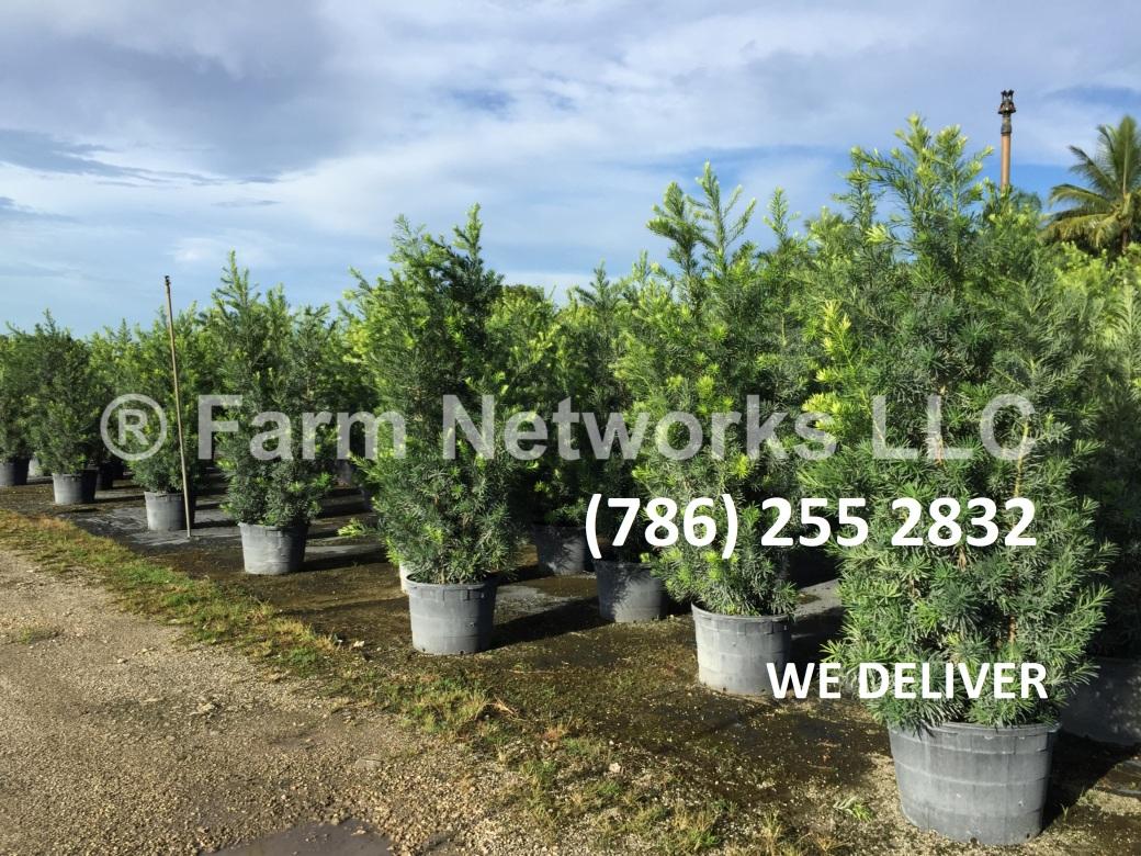45-Gallon-Podocarpus-Nursery