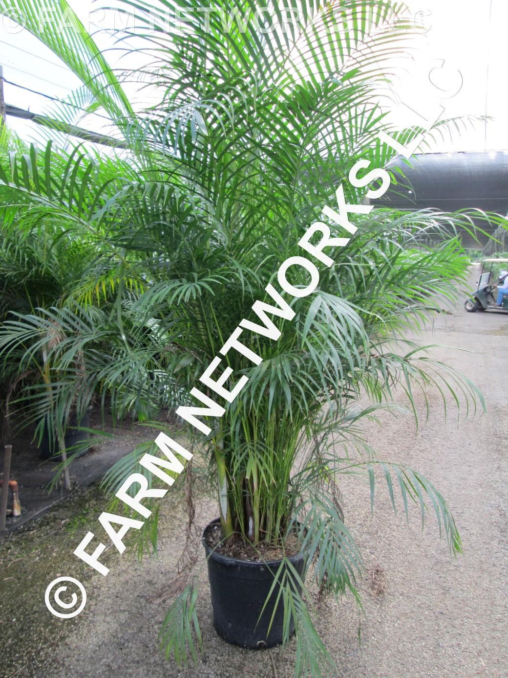 3 Gallon Areca Palm Trees