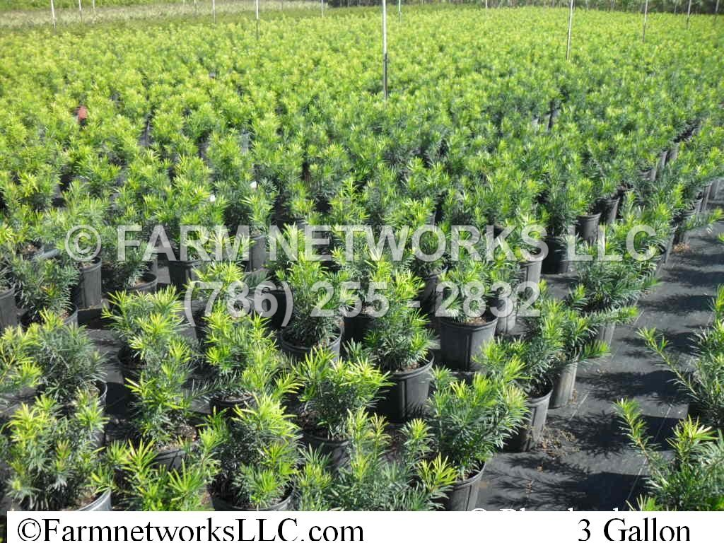 7 Gallon Hedge Plants