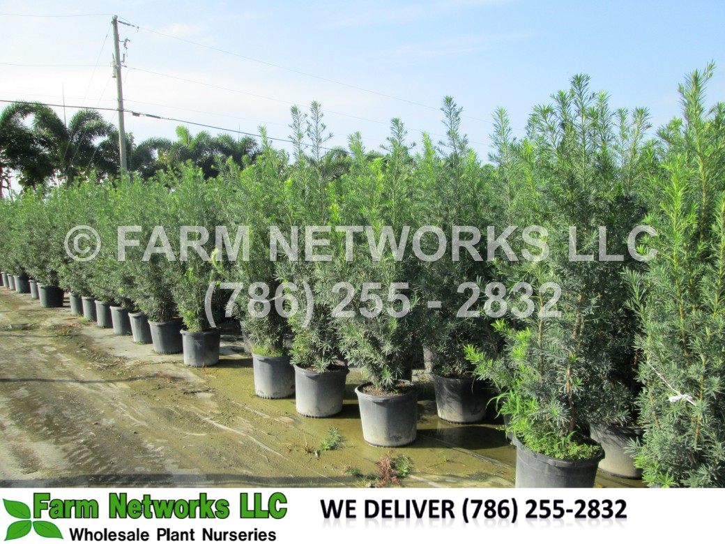 7-Gallon-Podocarpus-Nursery