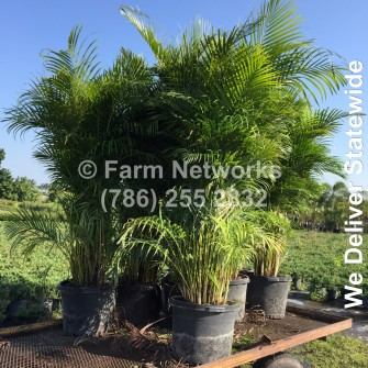 Areca Palm Nursery-Broward