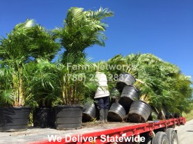 Areca Palm Nursery-Florida