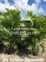 Areca Palm Nursery-Miami