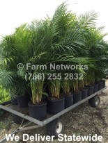 Areca Palm Nursery-Naples