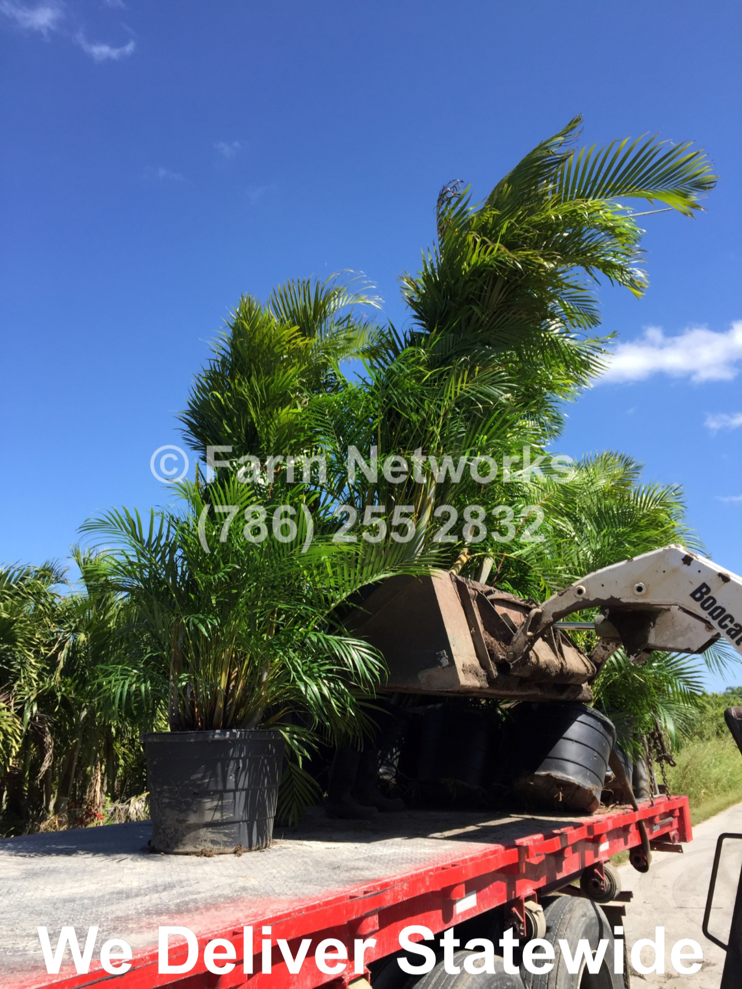 Areca Palm Tree Naples Fl South Florida Hedge Plant Nursery