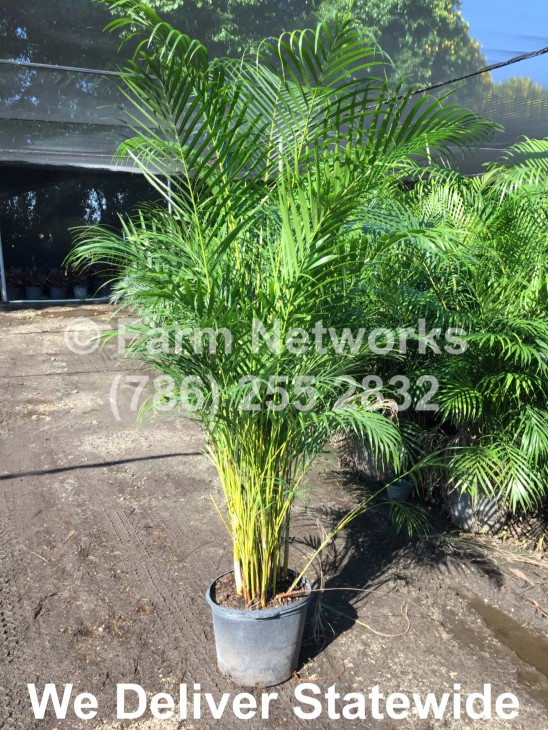 Areca-Palm-Tree-Stuart,FL