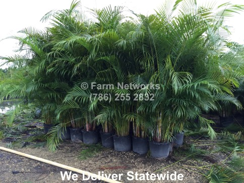 Areca Palm Trees-15-Gallon