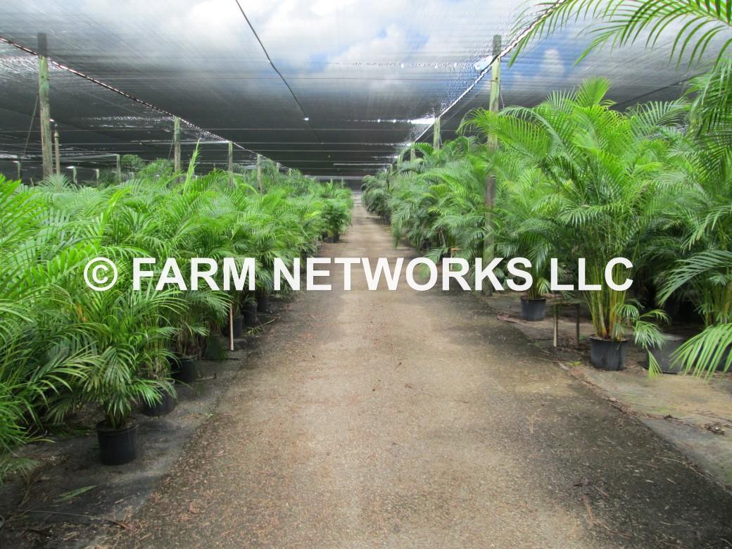 Areca-Palm-Trees-Broward