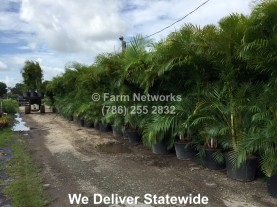 Areca Palm Trees for Sale
