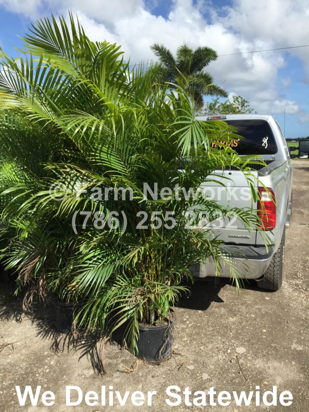 Areca-Palm-Trees-Homestead