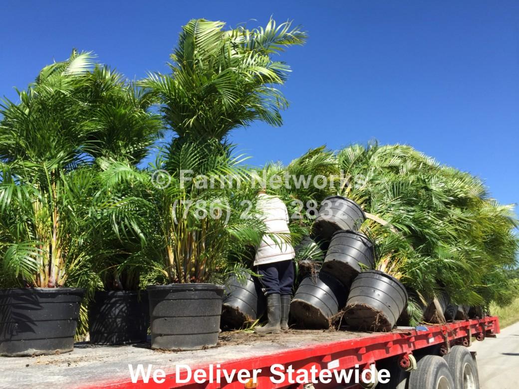 Areca-Palm-Trees-Miami