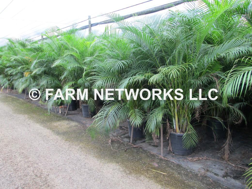 Areca-Palm-Trees-Palm Beach