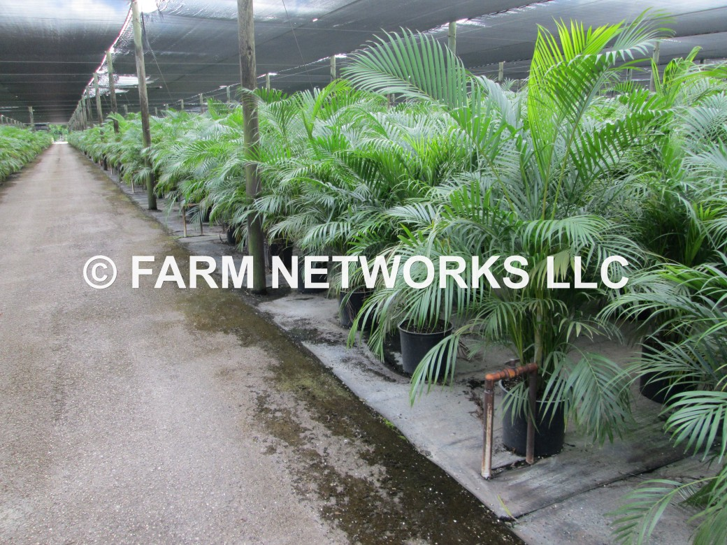 Areca Palm for Sale