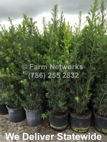 Best Prices on 45 Gallon Podocarpus