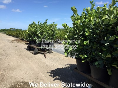 Broward Clusia Nursery