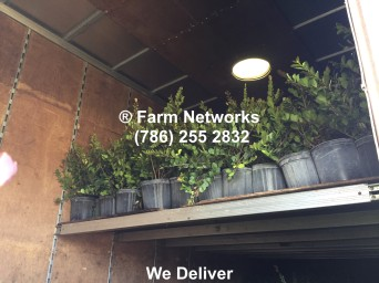 Broward Plant Exporters, Miami, Farm Networks, Clusia Plants