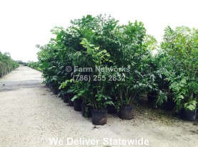 Fishtail Palm Trees for Sale