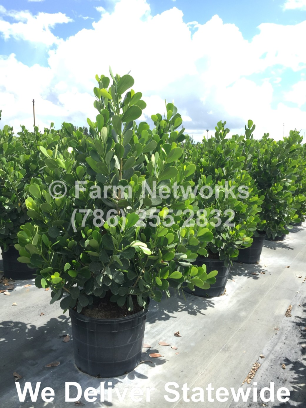 Florida-Clusia-Hedge-1-Gallon
