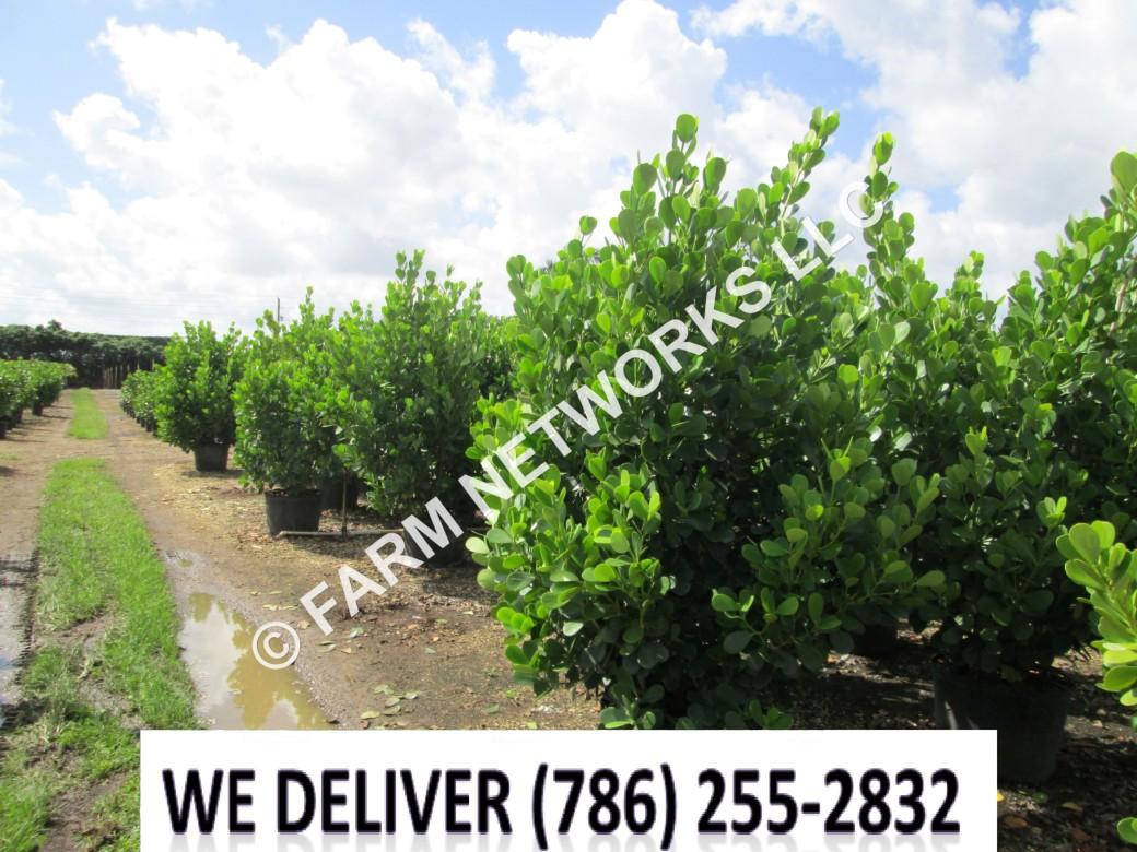 Florida-Clusia-Hedge-25-Gallon