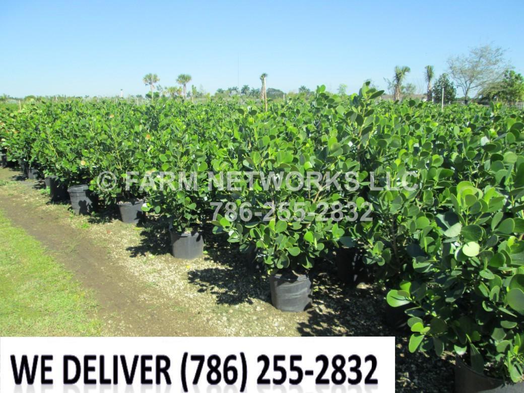 Florida-Clusia-Hedge-7-Gallon