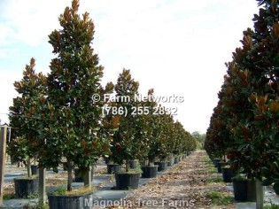 Florida Magnolia Trees-Nursery