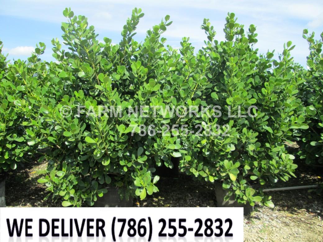 Small Leaf Clusia Hedge
